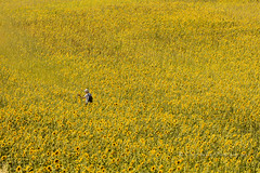 sunflowers! - Provence (pixellesley) Tags: sunflowers flowers field crop boy man person sunlight sunshine hot summer landscape valensole provence lesleygooding