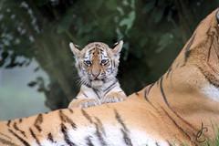 Marwell: Milla & her cubs (Amur Tigers) (Jasmine'sCamera) Tags: marwell marwellzoo milla cubs cub triplets baby babies tiger tigers amur amurtiger siberian siberiantiger zoo animals animal
