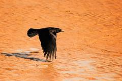 Sand Crow (Caleb4Ever) Tags: caleb4ever crow bird bif birdinflight sand orange black wings feathers beak blackpool lancashire england shadow