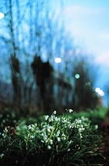 Eltham Station Car Park Flowers (Matthew Huntbach) Tags: eltham elthamstation se9 white flowers