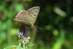 Butterflies of Bulgaria: Sooty Copper (Elisa1880) Tags: bulgaria bulgarije vlinder butterfly rila mountains rilagebergte bruine vuurvlinder lycaena tityrus heodes sooty copper beli iskar