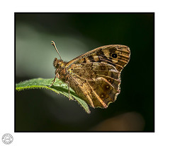 speckled wood (Richard Leah Photography) Tags: butterfly butterflies speckledwood insects wildlife nature nikond800 sigma105mm macro