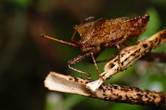 DSCF0497 (faki_) Tags: fuji fujifilm xe1 fujinonxf60mmf24rmacro 60 24 rovar insect poloska macromondays itsalive