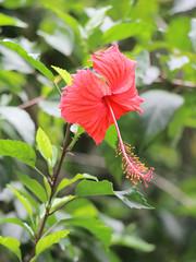 IMG_0486 (trevor.patt) Tags: palauubin singapore flower