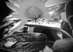 Gocce in bianco e nero (annamariagiacomini) Tags: macro fioredicactus goccesufoglia riflesso