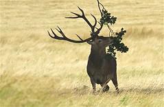 IMG_3395 (Sula Riedlinger) Tags: reddeer reddeercervuselaphus deer stag royalparks royalpark londonwildlife londonroyalparks londonparkswildlife greaterlondonwildlife greaterlondon greaterlondonparkswildlife urbanwildlife urbannature surreywildlife surrey britishwildlifephotography wildlifephotography wildlife nature nationalnaturereserve ukwildlife uknature ukmammal