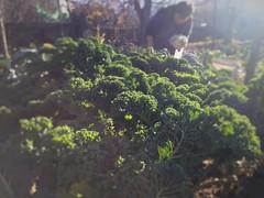 Superfood (Ellie Mo) Tags: greece northerngreece platania plataniadramas hellas ellada grandma grandmother yaya giagia kale superfood greenstuff green plant leaves allotment homegrown