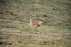 Willmore Wilderness Park (Alberta Parks) Tags: caribou female hoofed mammal rangifertarandus wildlife animal alberta northern rockies mountain wilderness willmore canada alpine ungulate
