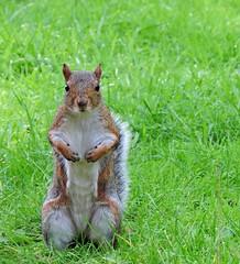 Squirrel (PhotoLoonie) Tags: squirrel greysquirrel grey outdoors britishwildlife wildlife wildanimal ukwildlife britishwildanimal animal ukanimal