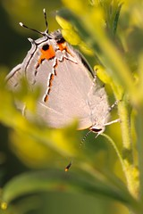 gray hairstreak (laurie_frisch) Tags: gray hairstreak butterflies bug bugs wickiup hill outdoor learning center nature iowa