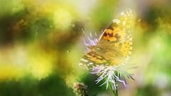 It was summer. (augustynbatko) Tags: butterfly macro summer flowers bokeh nature color light