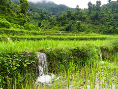 Waterfalls in rice paddies (whitworth images) Tags: terraces asia ricepaddies water young monsoon leaves paddies farming agriculture trees ricepaddy rice pokhara waterfall shoots planted nepal kaski farm green paddy village indiansubcontinent fresh pame