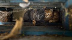 Vilains petits fripons (Maxime Bonzi) Tags: orange cat gris photo chat image bleu sombre animaux roux palette sauvages chatons domestiques minoux