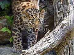 Leopard cub getting down (Tambako the Jaguar) Tags: wild portrait baby france tree cute female cat walking zoo cub big nikon small leopard gettingdown amur mulhouse d4