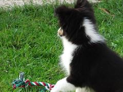 Shetland (camille89150) Tags: chien sheltie chiot shetland