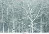 Sneeuwbui op de Stippelberg (NH020483) (nandOOnline) Tags: winter bomen sneeuw nederland natuur boom landschap sneeuwvlokken rips sneeuwjacht sneeuwbui nbrabant stippelberg