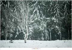 Sneeuwbui op de Stippelberg (NH020522) (nandOOnline) Tags: winter bomen sneeuw nederland natuur boom landschap sneeuwvlokken rips sneeuwbui nbrabant stippelberg