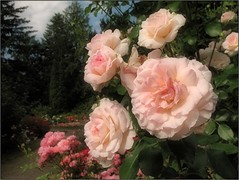 (Tlgyesi Kata) Tags: rosen rosa rose rzsa withcanonpowershota620 summer nemzetibotanikuskert vcrttibotanikuskert botanikuskert botanicalgarden pinkflower rosier blossom vcrtt nyr