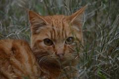 Ginger (Leela Channer) Tags: portrait orange france cute green nature face grass animal closeup cat grey ginger eyes beige furry feline tabby gray dry felid