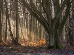 Illumination (Damian_Ward) Tags: wood lumix olympus panasonic 60mm dmc m43 mft gh3 28macro damianward micro43 microfourthirds mzuikodigitaled estatehertshertfordshirenational ©damianward ashridgeashridge trustntthunderdell