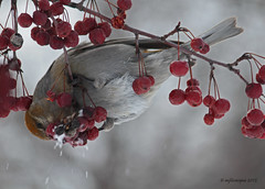 Durbec des sapins - femelle (Marie-Josée Lévesque) Tags: winter canada bird nature wildlife hiver québec oiseau pinegrosbeak faune 2015 femelle durbecdessapins