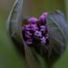 mertensia virginica, ouryard, jdy090 XX200903311685.jpg