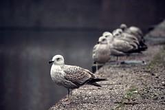 a hofvijver fairy tale (marie-ll) Tags: seagulls gulls nederland denhaag meeuwen hofvijver zeemeeuwen ahofvijverfairytale