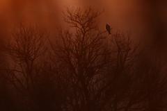 Red Kite at Dusk (Daniel Trim) Tags: uk light sunset red england kite bird warm britain frosty prey milvus swooping