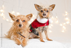 Holiday Dogs 2014 (MelissaBessMonroe) Tags: christmas red holiday dogs christmaslights santahat highquality holidaydogs highqualitydogs
