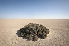 DSC_5061_shrub_namib_between_uis_and_henties_bay (kdriese) Tags: africa plants desert vegetation shrub barren namibia sparse namib skeletoncoast kendriese nikond700 june2014