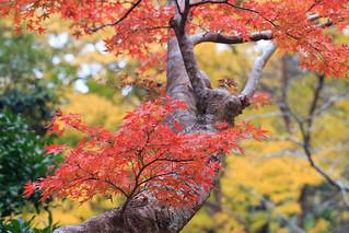 Japan beauty in autumn - Naritasan Autumn Leaves Festival 2014