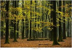 Speulderbos (NH018126) (nandOOnline) Tags: bomen herfst nederland boom bos veluwe ochtend gelderland garderen beuk solsegat herfstbladeren speulderbos beukenboom speulder