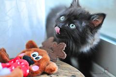 #42: Time to hunt some reindeer (Random Life Project) Tags: cats animals feline kitty kittens kitties ehs adoption shelteranimals fostering edmontonhumanesociety fosteranimal