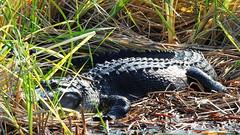 American Alligator (Jim Mullhaupt) Tags: wallpaper lake nature water landscape pond nikon flickr florida gator reptile wildlife alligator coolpix predator bradenton freshwater americanalligator p510 mullhaupt jimmullhaupt