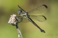 gray-waisted skimmer (explored 11/27/2014) (robert salinas) Tags: austin texas unitedstates