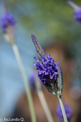 _DSC3254.jpg (Riccardo Q.) Tags: macro fiori altreparolechiave
