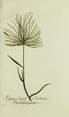 Anglų lietuvių žodynas. Žodis elymus caput-medusae reiškia elymus uodega-medusae lietuviškai.