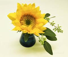 sunflower2 (darcydangremond) Tags: blue flower sunflower vase