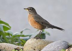 American Robin (Hockey.Lover) Tags: birds americanrobin alamedacounty 2015 myfrontyard