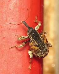 bug of the day (urtica) Tags: usa night insect ma massachusetts beetle bugoftheday framinghamma framingham weevil coleoptera curculionidae conotrachelus conotrachelusanaglypticus cambiumcurculio