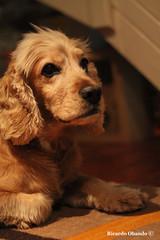 teo (Ricardo Obando) Tags: dog 50mm perro mascota cockerspanielingles