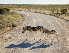 Zebra Crossing (Rob Whittaker Photography) Tags: africa canon mammal creative safari westafrica zebra namibia animalplanet etosha zebracrossing angola sossusvlei namibianwildlife southernafrica africanwildlife namibdesert wildlifephotography canonphotography etoshanationalpark okaukuejo namibnaukluftnationalpark robertwhittaker etoshanamibia oshikoto namibiaoverland africaphotography sossusvleipan canonwildlife zebranamibia swafrica sazzoo robwhittaker robwhittakerphotography eos300mmf4 sazzoocom robertwhittakerphotography oasisafrica ©robwhittakerphotography nambiaphotography
