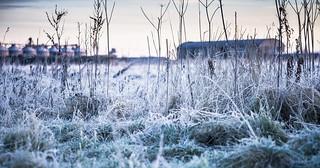 through the frozen grasses
