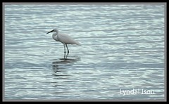 white ibis (wangywongles1) Tags: ocean fish bird water shark prawns dolphins lobster whales