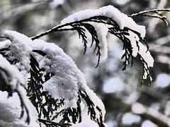 zimowato