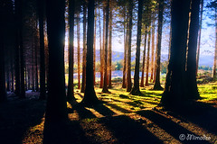 coniferous forest with sunlight (Mimadeo) Tags: trees light sunset shadow sunlight tree green grass lines backlight forest sunrise landscape shadows rays backlit trunks sunrays sunray sunbeams coniferous conifer