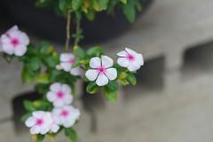 IMG_9667.jpg (Idiot frog) Tags: camping flower tree green leaves canon eos petals blossom seasonal hsinchu shutterstock 5d2 5dmk2