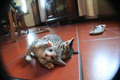 Silvestro e Moffetta (nucciele) Tags: cats cute little felini gatti combattimento