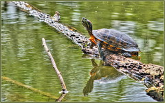 Slider Sunning (tdlucas5000) Tags: lake reflection reflections log turtle slider hdr
