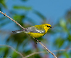 Blue-winged Warbler (b88harris) Tags: county blue white bird beauty yellow fly nikon day natural pennsylvania 300mm valley stony nikkor migration winged dauphin warbler specanimal d7200